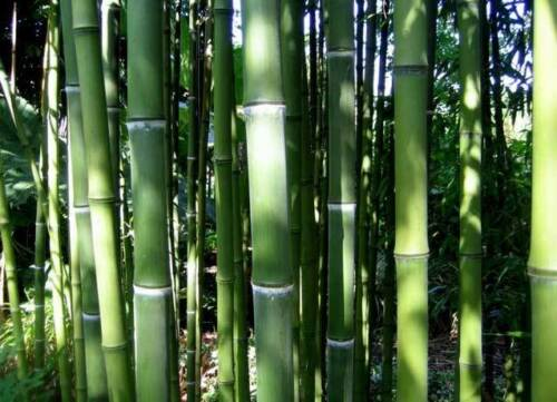 10//2018 110 Graines Phyllostachys Pubescens Giant Moso Bamboo bulk Seeds