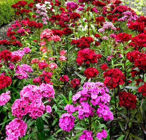 150 Samen Einjährige Sweet William Roundabout Gemischte Dianthus Barbatus
