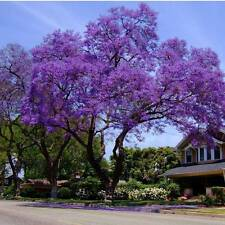 30+ FRESH Jacaranda Mimosifolia / Blue Jacaranda / Black Poui / Fern Tree Seeds