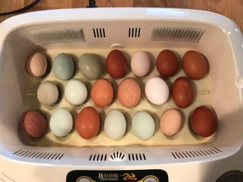 6 Hatching Eggs: Sage Egger Olive Egger Turquoise Egger Easter Egger