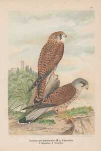 Turmfalke-Falco-tinnunculus-Chromolithographie-um-1900-Falken-Falcon-Falk
