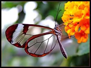 Glasswinged Butterfly Glossy Poster Picture Photo Transparent Greta
