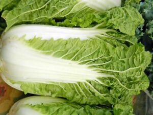 200 Seeds Chinese Cabbage Michihili Wombok Wong Bok Veg Ebay