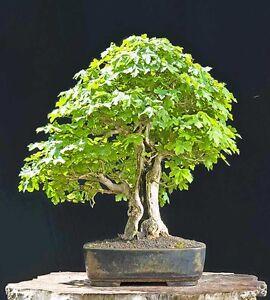 Field Maple 50 Seeds Acer Campestre Bonsai Tree Ebay