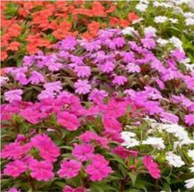 NEW GUINEA IMPATIENS SUN LOVERS MIXED ASSORTED PLANTS COLLECTION X 30  PLANTS