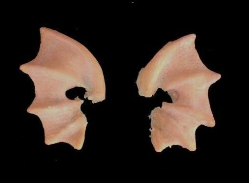 Halloween Latex Prothétique oreilles Ondine MERMAID avec MEHRON Spirit Gum Remover Kit