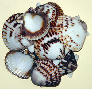 "Black/White Scallop,Cockle Half Shells~1-1/2""-2~Craft Seashells 10/25/50 Pcs."