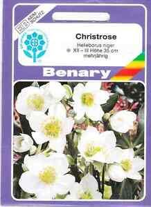 Christrose-Helleborus-niger-Nieswurz-mehrjaehrig-30-Pflanzen-Benary-Samen