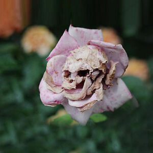 Details about 50 Rare Death Rose Seeds Mysterious Plant Snapdragon Garden  Flower Unique