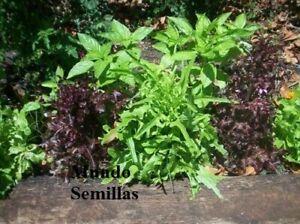 éNergique Albahaca Mezcla De Aromas Y Colores 1000 Semillas Seeds - Ocimum Basilicum Une Offre Abondante Et Une Livraison Rapide