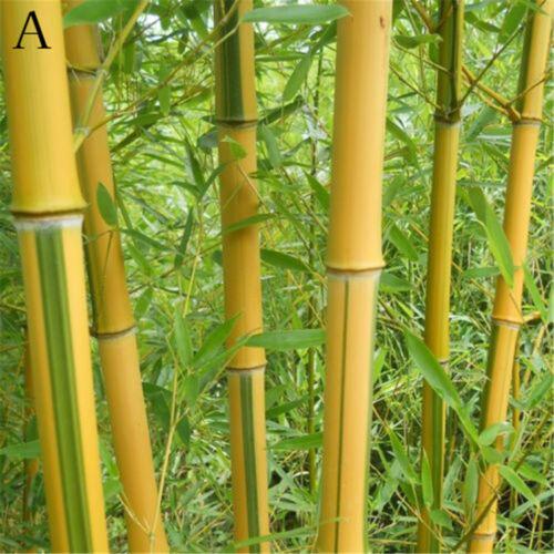 100Pcs Seeds Phyllostachys Pubescens Moso-Bamboo Seeds Garden Plants Decor JD