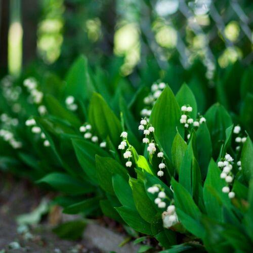 100PCs Lily Of The Valley Convallaria Majalis Perennial Flower Seeds Bonsai
