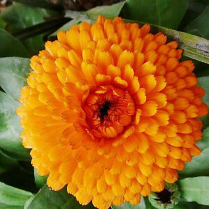 Orange Pot Marigold Seed 30 Seeds Calendula Officinalis Flower Garden Seeds A198