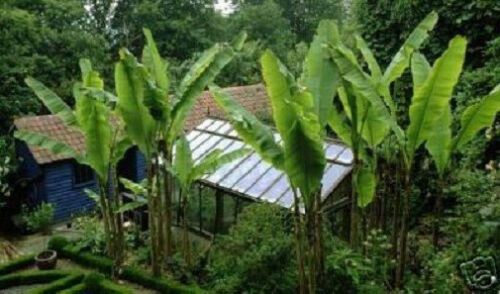 Winterhärteste Banane der Welt für Haus /& Garten Banane Musa basjoo Sämerei