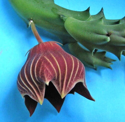globosa SEEDS SAMEN KORN orchidea deserto 5 Huernia keniensis var