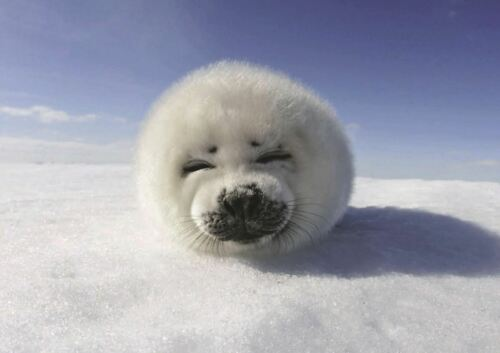 CUTE BABY SEAL NATURE ANIMAL A3 PRINT POSTER GZ076