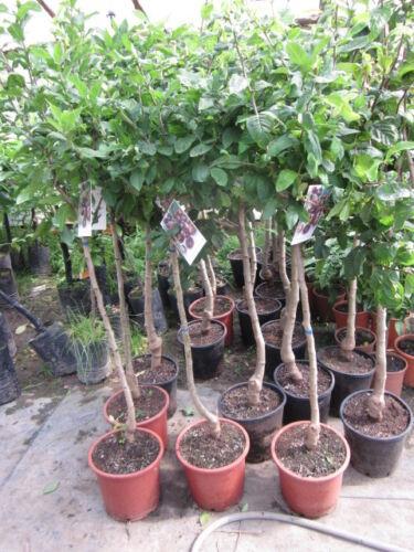 Deutsche Mispel  Mespilus germanica frosthart 25°C  1,50m veredelt  Mispelbaum