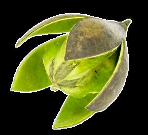 6cmSoymida febrifugaTrockenblumenNaturd NaDeco® Wildlilie apfelgrün ca