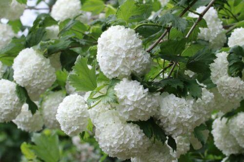 Guelder Rose 45cm  plant anytime 3 Viburnum Opulus