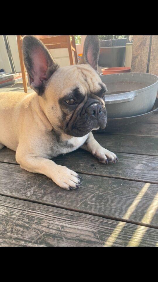 Fransk bulldog tilbydes til parring, hund, 2 år