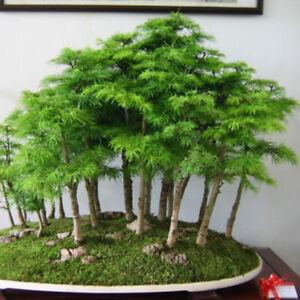 Am-HB-50P-Mini-Fir-Tree-Seeds-Perennial-Home-Garden-Yard-Balcony-Green-Decor-P