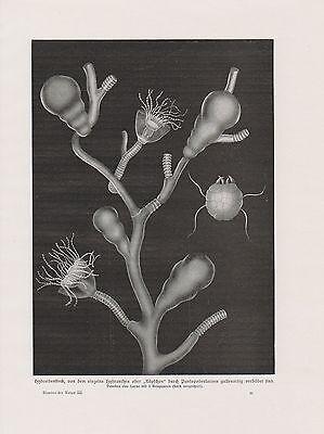 Hydroidenstock Pantopodenlarven Pantopoden Druck Von 1912