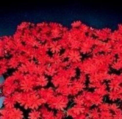 25 Graines Lychnis-Molten Lava