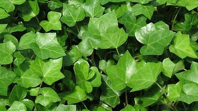 English Ivy Starts 6 for $6.49 ***FREE SHIPPING** Beautiful Cover for Shade
