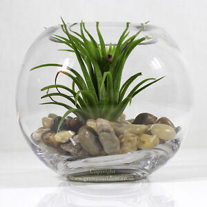 Air Plant In Small Glass Bowl Terrarium With Small Mixed Polished