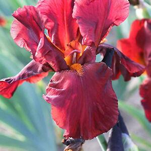 2 Iris Bulbs Perennial Elegant Bearded Bonsai Resistant Stunning Flowers Plant