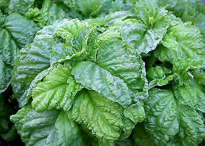 Lettuce Leaf 20+ Samen Salatblätter Basilikum RIESIG und DUFTIG!