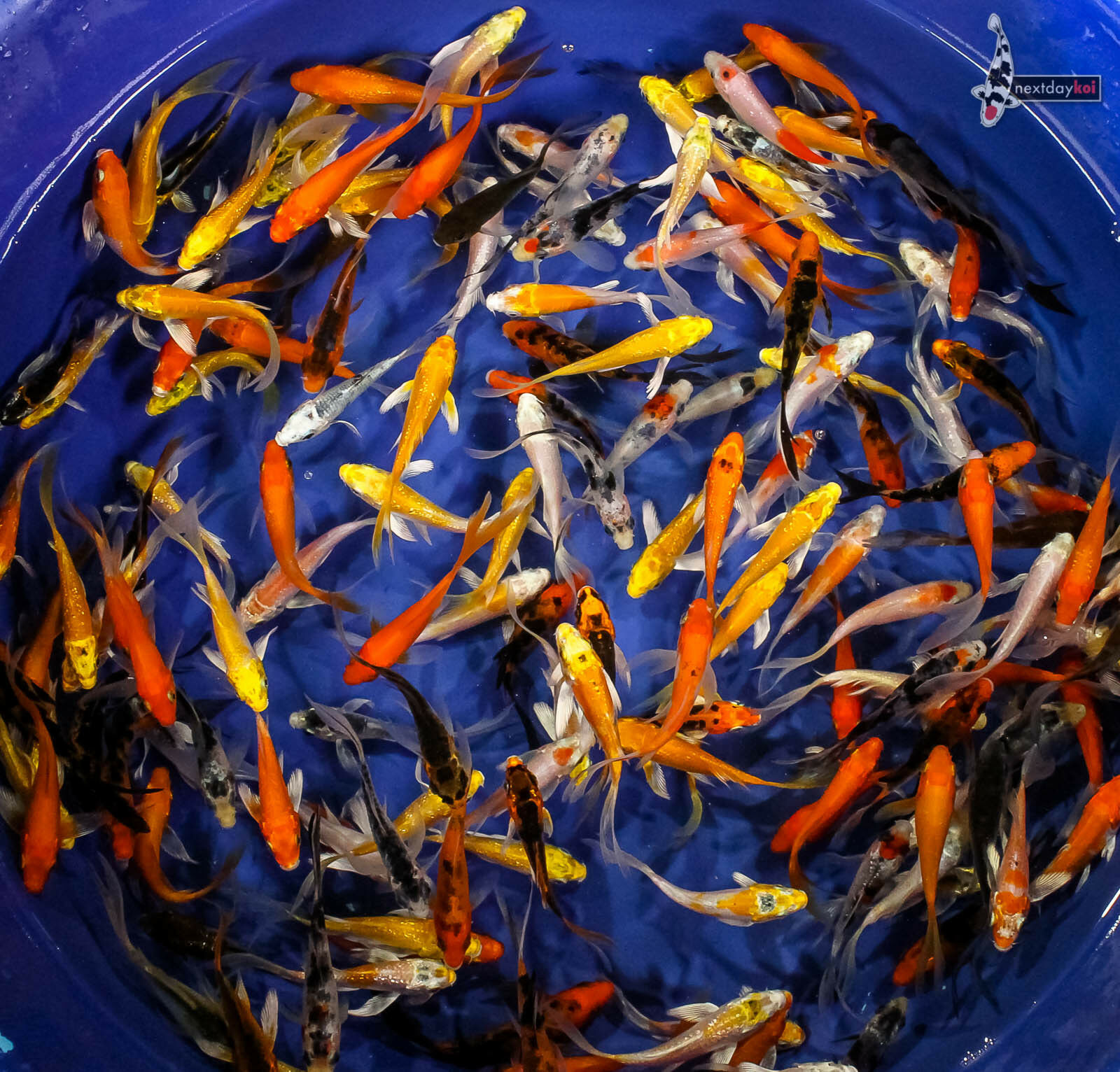 Lot of (25) 2 to 2.5  GRAB BAG BABY IMPORTED BUTTERFLY KOI live fish fin NDK