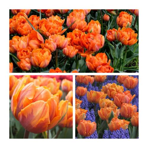 Arancione Tulip Principessa x 100 Lampadine piuttosto doppio fioriture Fiore DI PRIMAVERA