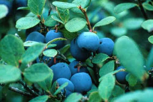 40-60 cm reichtragende Kultur Heidelbeere Bluecrop ca