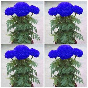 200Pcs-Blue-Marigold-Maidenhair-Seeds-Home-Garden-Yard-Edible-Flower-Plant-Seed