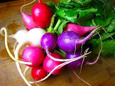 75 graines de RADIS MULTICOLORE OEUF DE PAQUES - Easter egg radish seeds