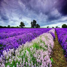400 Beautiful Lavender English Seeds Organic, Untreated Herb Seeds Garden Deocr