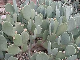 Opuntia cacanapa /'Ellisiana/' rooted 1gallon spineless opuntia//prickly pear
