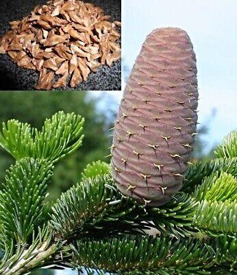 Christmas Tree Seeds.Nordmann Pine Tree Seeds Abies Nordmanniana Most Popular Smart Christmas Tree Ebay