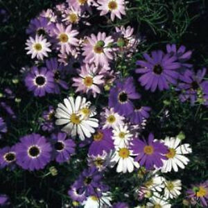 Swan-River-Daisy-Seed-Mix-3-Colours-Perennial-Lovely-in-Rockeries-Easy-Growing
