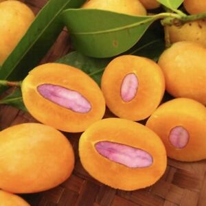 Gandaria-MANGO-Tropical-Fruit-Tree-Plant