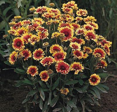 Gaillardia - Goblin - 100 Seeds