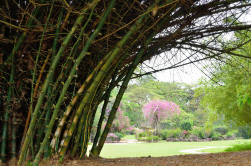 Bambusa bambos-Indiano Spinosa Bamboo 25 Semi