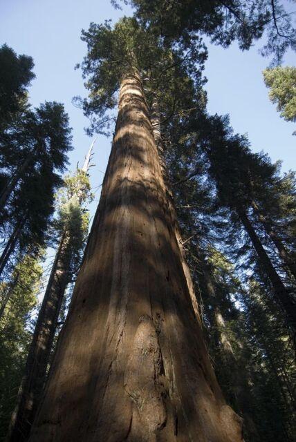 Sequoiadendron Giganteum - GIANT REDWOOD - 30 Seeds - Giant Sequoia Bonsai