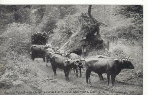 B&W HAULING WOOD,OXEN MSANTA CRUZ MOUNTAINS,CA