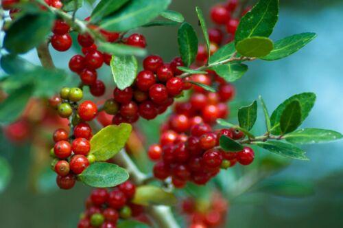 Free Shipping Yaupon Holly   Ilex vomitoria   Organic   10 Seeds