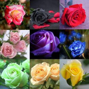 Rare-Rose-Seeds-Home-Garden-Perennial-Plant-Flower-Indoor-Bonsai-Flower-60pcs-TB