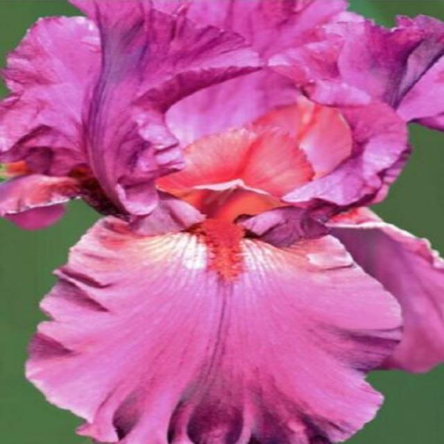 Flower Bearded Iris Bulbs 2 Perennial Bonsai Resistant Stunning Rhizomes Plant