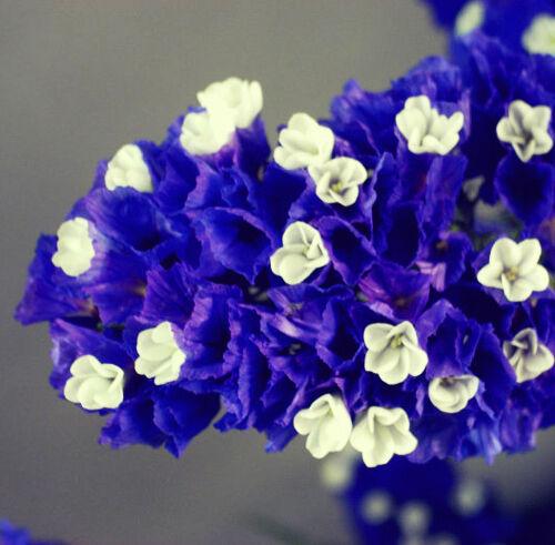 30 Blue Sea Lavender Seeds Limonium Sinuatum Myosotis Sylvatica