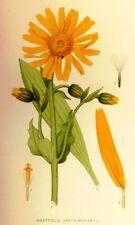Farbdruck Arnika Original 1957 Arnica Heilpflanze Bild Druck Medizin SELTEN